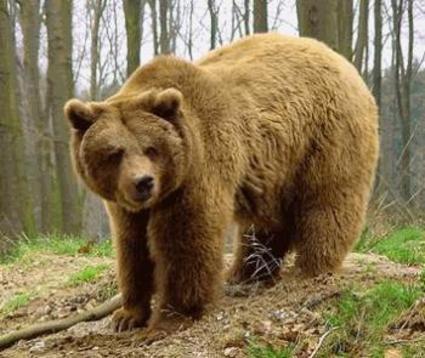 Νεκρή με σφαίρες βρέθηκε νεαρή αρκούδα
