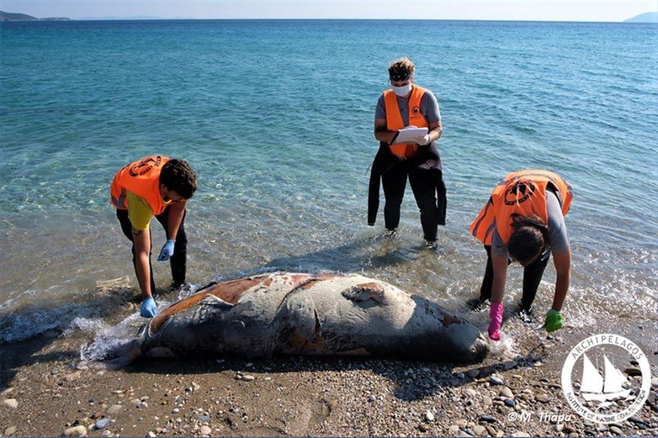 Επτά Μεσογειακές Φώκιες εντοπίστηκαν στο Αιγαίο τις μέρες των περιορισμών