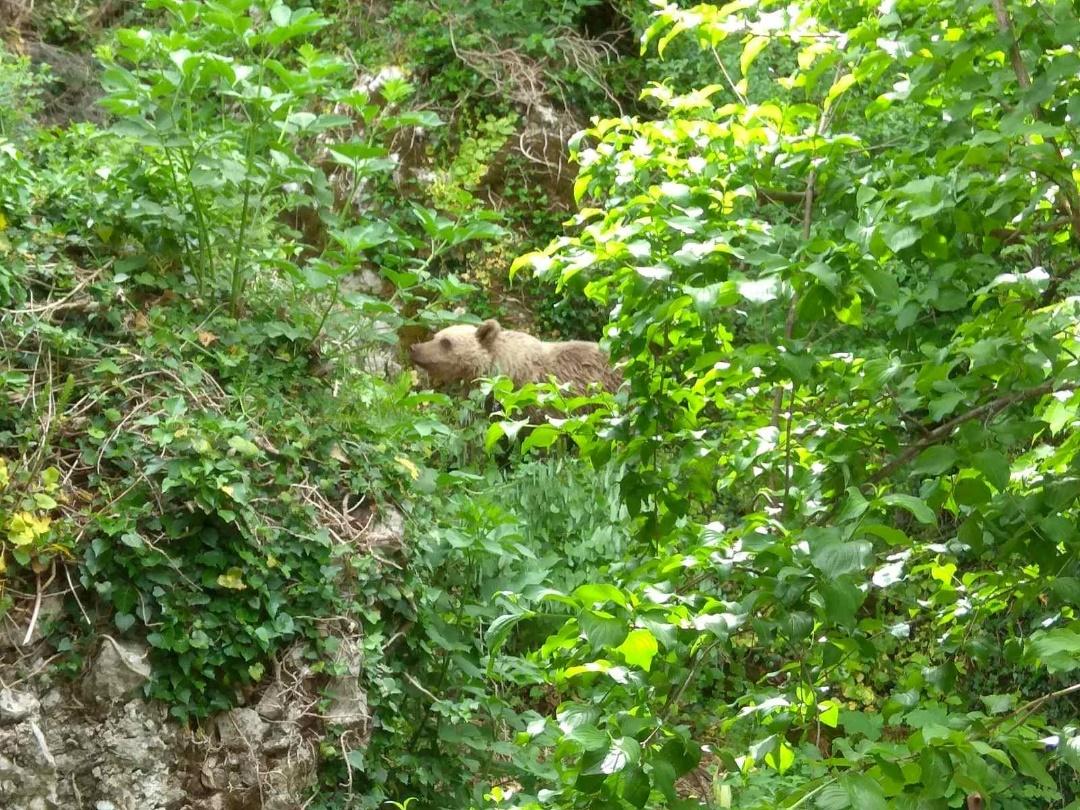 Μια νεαρή αρκούδα επισκέπτεται τον οικισμό του Μικρού Πάπιγκου εν μέσω καραντίνας