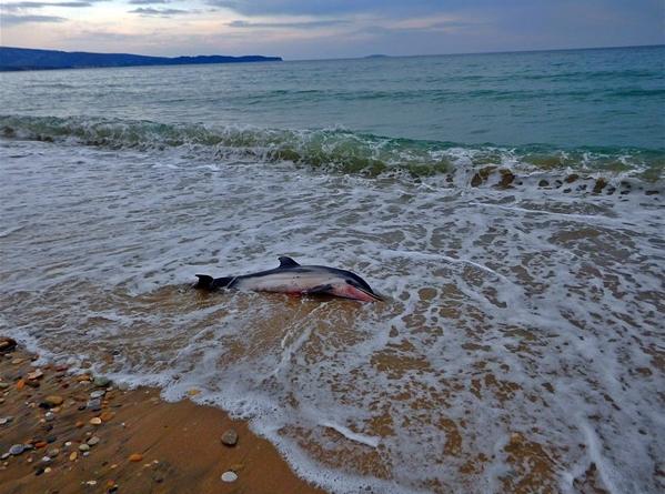 Νεκρό δελφίνι ξεβράστηκε στα Λιμενάρια της Θάσου
