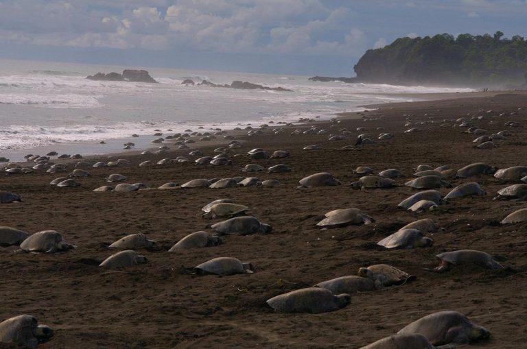 70.000 θαλάσσιες χελώνες υπό εξαφάνιση αποθέτουν αυγά στις άδειες λόγω καραντίνας παραλίες